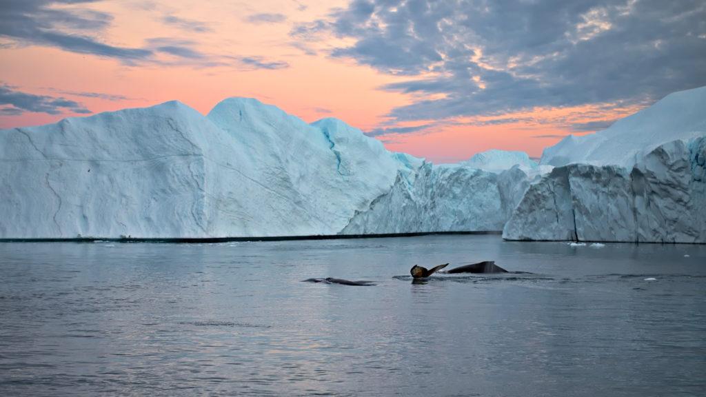 buckelwale zum sonnenuntergang zwischen eisbergen