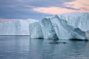 two humpback whales in front of big blue icebergs at sunset with a red sky