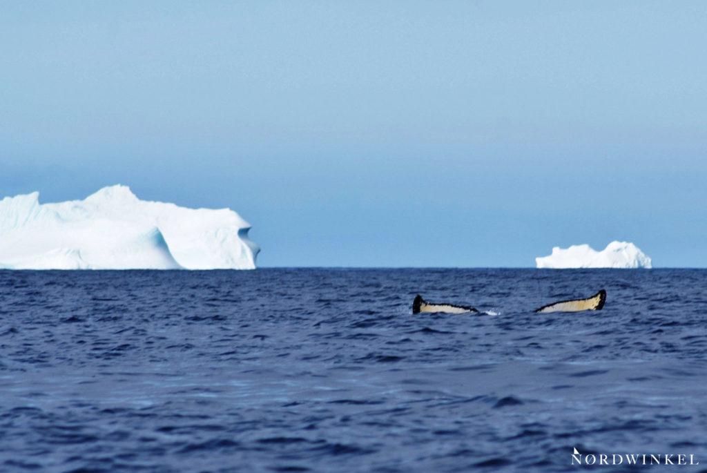 buckelwal taucht zwischen eisbergen ab