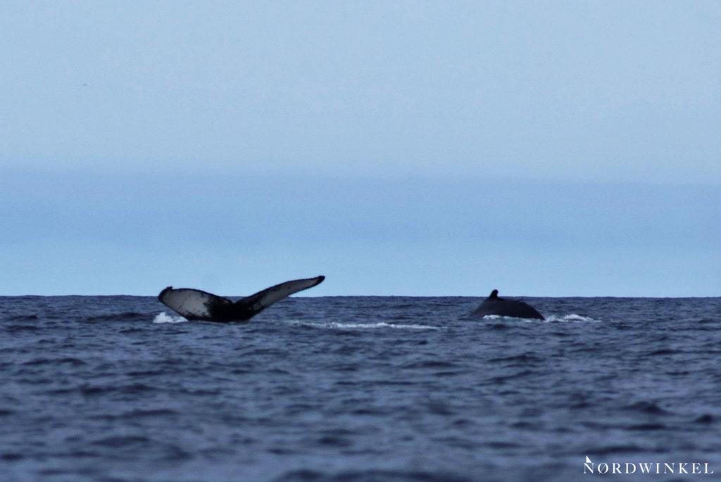 zwei buckelwale tauchen, eine fluke taucht aus dem wasser auf