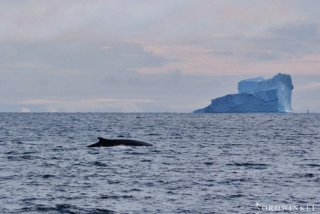finnwale vor eisberg im arktischen ozean