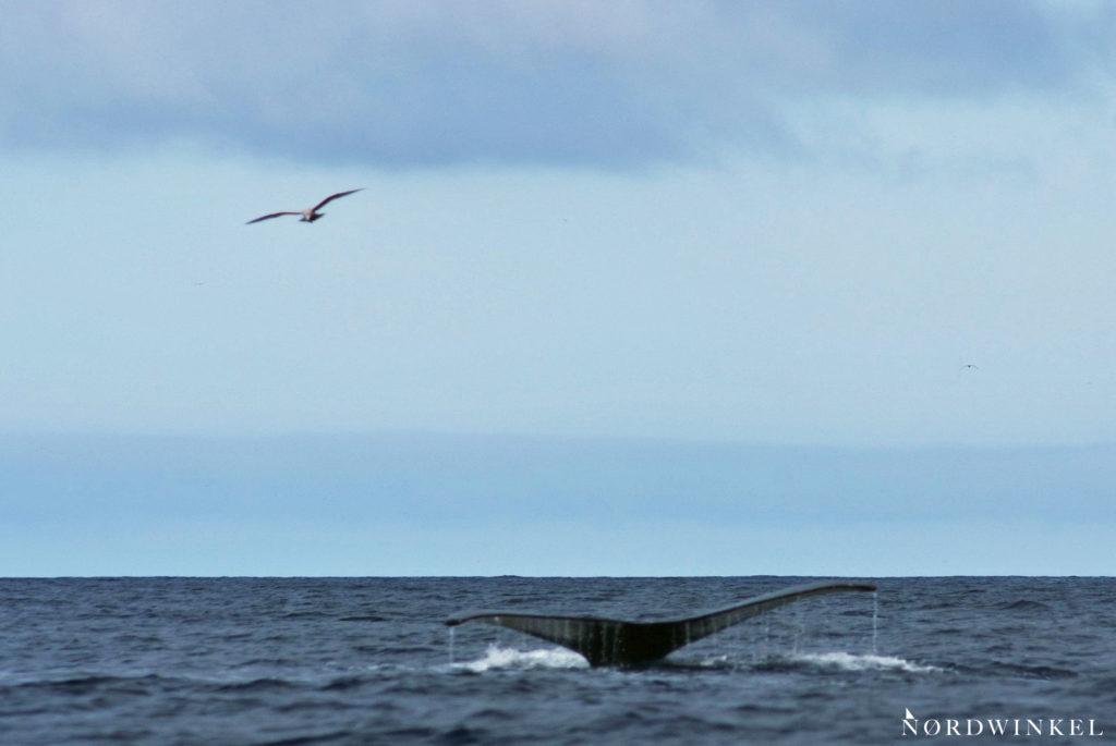 buckelwalfluke taucht aus dem wasser auf