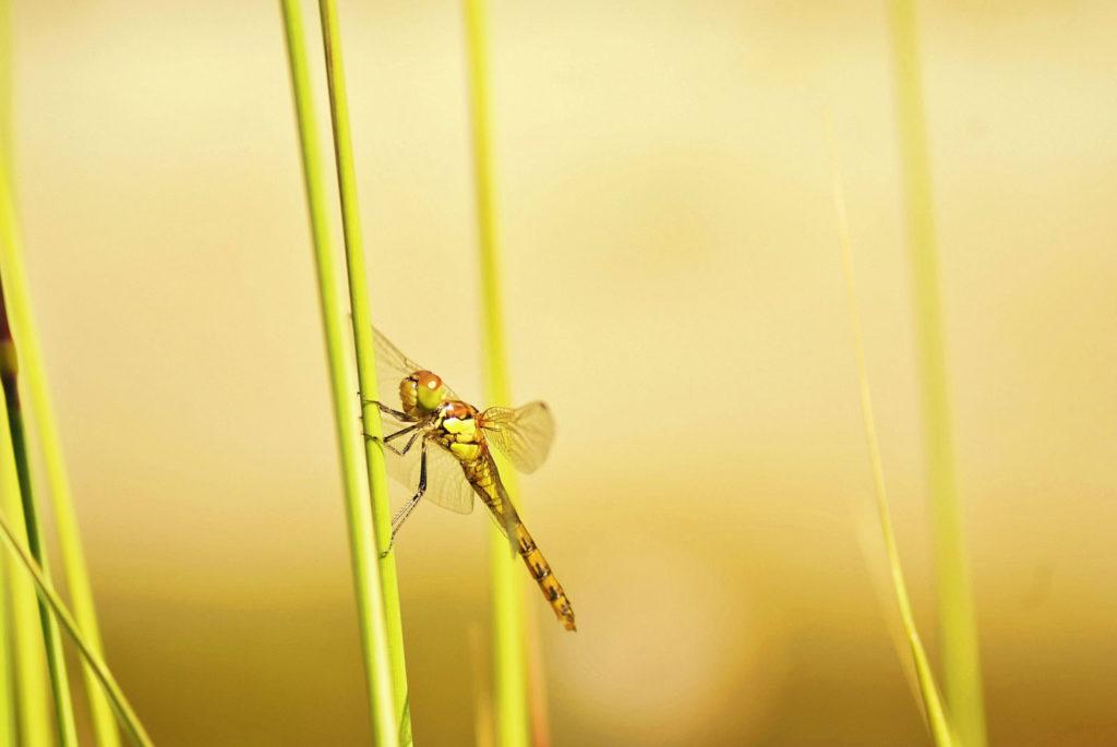 libelle auf einem grashalm vor verschwommenen hintergrund