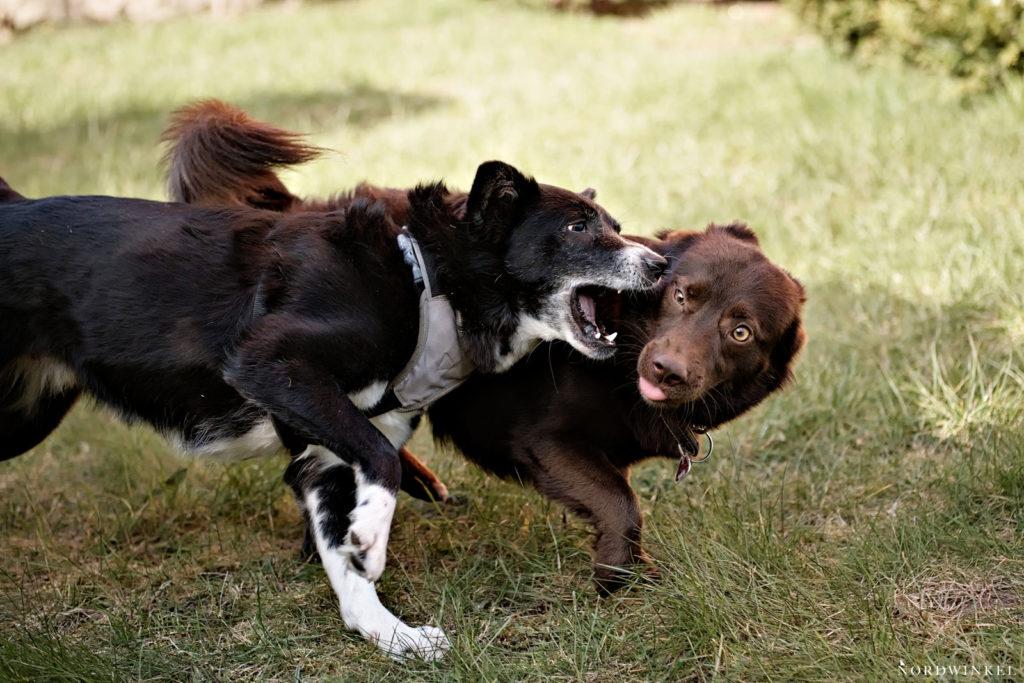 zwei tobende hunde auf einer wiese