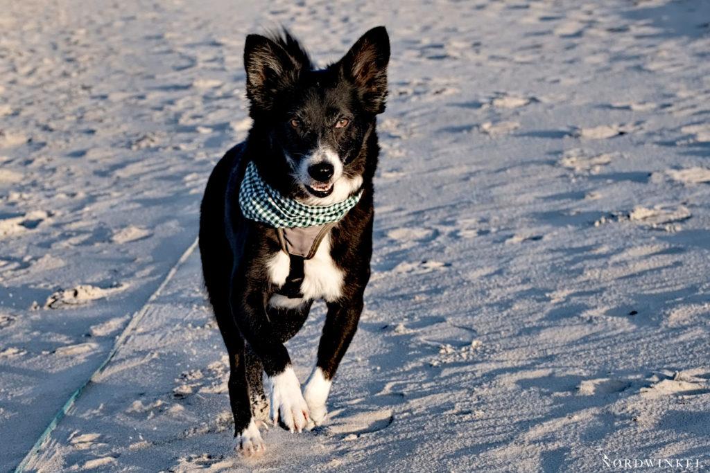 hund rennend am strand